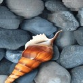 Shell in Water LWP